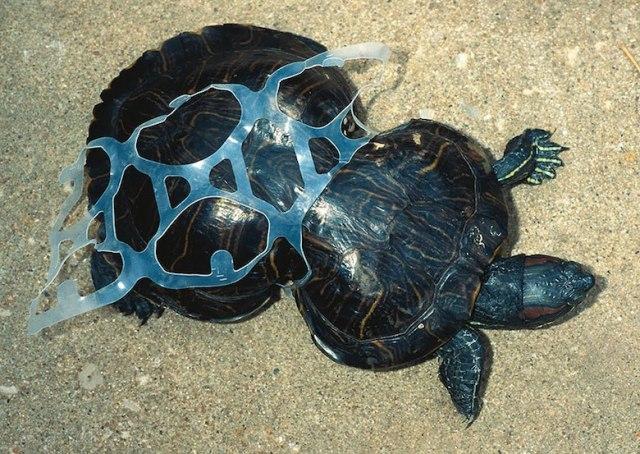 Chú rùa bị kẹt trong loại nhựa nhân tạo
