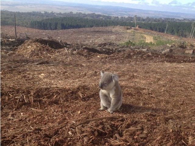 Chú Koala mất nhà vì con người khai thác gỗ phá hủy một khu rừng tại New South Wales, Australia
