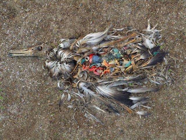 Chú hải âu chết vì ăn nhiều rác thải Midway, Bắc Thái Bình Dương