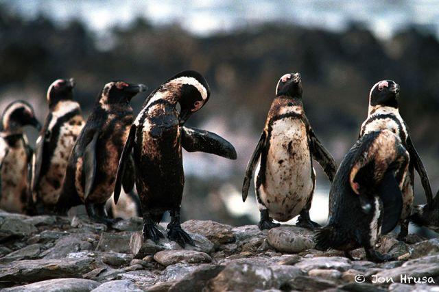 Những chú chim cánh cụt tắm trong dầu